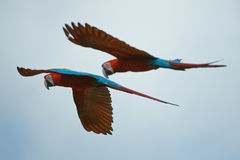 Two Macaws Flying High Stock Images