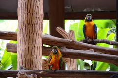Two Macaws Stock Image