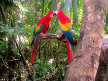 Two Macaws sitting on a branch. Two red, yellow, blue Macaws sitting on a branch with their beaks touching royalty free stock photos
