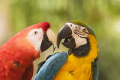 Two Macaws Together. Two brightly colored macaws are touching their beaks in a face off. One is a blue and yellow macaw (ara ararauna) and the other is a scarlet royalty free stock photography