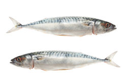 Two mackerel Stock Images