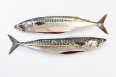 Two Mackerel fish stock image