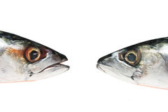 Two mackerel heads Stock Photos