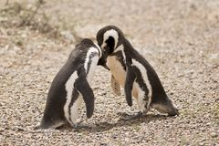 Two magellanic penguin playing Royalty Free Stock Images