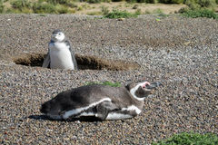 Two magellanic penguins digging burrow Royalty Free Stock Photo