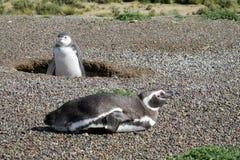 Two magellanic penguins digging burrow Royalty Free Stock Photo