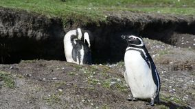 Two Magellanic penguins in Falklands. Two Magellanic penguins in Falkland Island stock video footage