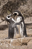 Two magellanic penguins standing in front of their nest Royalty Free Stock Photography