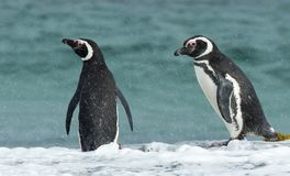 Two Magellanic penguins standing on an ocean coast during the ra Royalty Free Stock Images