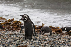 Two Magellanic penguins standing at the water`s edge Stock Images