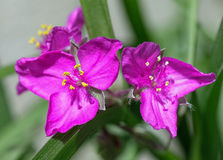 Two in Magenta Royalty Free Stock Photos