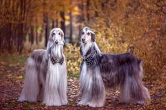 Two magnificent Afghan hounds, similar to medieval lords. With hairstyles and collars.Stylish, gorgeous dogs on the background of the autumn mystical forest stock image