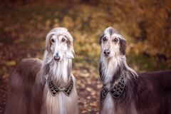 Two magnificent Afghan hounds, similar to medieval. Lords, with hairstyles and collars.Stylish, gorgeous dogs on the background of the autumn mystical forest royalty free stock photos