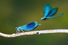 Two magnificent blue dragonflies on a blurred green background. Romantic detail of the beautiful insect couple with a twig Royalty Free Stock Image