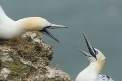 Two stunning Gannet Morus bassanus with their beaks open fighting on the edge of a cliff in the UK. Two magnificent Gannet Morus bassanus with their beaks open stock image