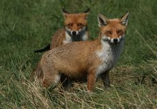 Two magnificent wild Red Fox Vulpes vulpes hunting for food to eat in the long grass. stock images