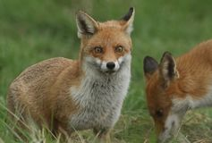 Two magnificent wild Red Fox Vulpes vulpes hunting for food to eat in the long grass. Two magnificent Red Fox Vulpes vulpes hunting for food to eat in the long stock images