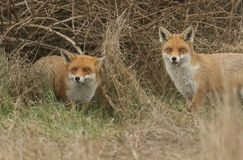 Two magnificent Red Fox Vulpes vulpes searching for food to eat at the edge of shrubland. Two beautiful Red Fox Vulpes vulpes searching for food to eat at the stock images