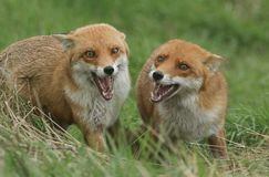 Two magnificent wild female Red Foxes Vulpes vulpes both with their mouths open whilst hunting for food in a field of long grass stock photos