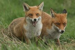 Two magnificent wild Red Fox Vulpes vulpes hunting for food to eat in the long grass. stock photos