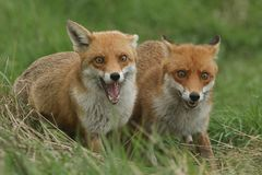 Two magnificent wild Red Fox Vulpes vulpes hunting for food to eat in the long grass. stock photo