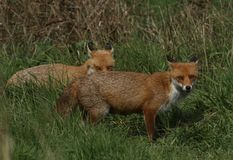 Two magnificent wild Red Fox Vulpes vulpes hunting for food to eat in the long grass. royalty free stock photography