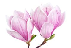 Two magnolia blossoms isolated on white Royalty Free Stock Photography