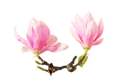 Two magnolia on branch stock image