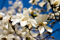 Two Magnolia Flowers. Close-up on blue sky Royalty Free Stock Image