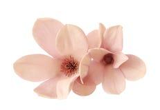 Two magnolia flowers Stock Photos