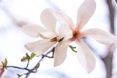 Two magnolia flowers. On a white background Royalty Free Stock Photography