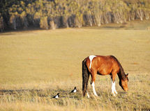 Two magpies and a horse in the field Royalty Free Stock Photos