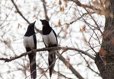 Two Magpies Perched Branch Stock Images