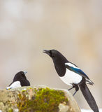 Intelligent Magpies Stock Images