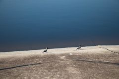 Two magpies on the shore of the reservoir go after each other. royalty free stock images