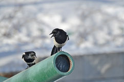 Two magpies sitting on the barrel of an artillery gun Royalty Free Stock Photo