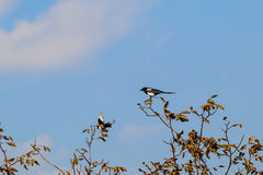 Two magpies on the top of the tree. Magpie bird courtship Stock Image