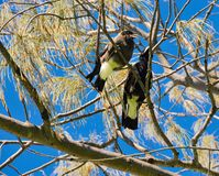 Two Magpies: Tree Friends Stock Photo
