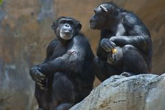 Two Mahale Mountains Chimpanzees at LA Zoo on rock one chimp with wounded arm gives side eye royalty free stock photo