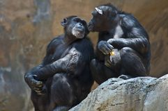 Two Mahale Mountains Chipanzee at LA Zoo look at each other one open wound arm. Mahale Mountains Chimpanzees at LA Zoo Mahale Mountains National Park was created royalty free stock photos