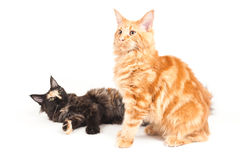 Two Maine Coon cats Royalty Free Stock Photo