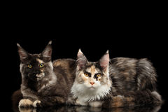 Two Maine Coon Cats Lying, Looking in Camera,  Black Royalty Free Stock Photos