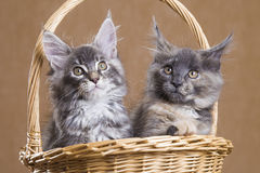 Two Maine Coon kitten in a basket Royalty Free Stock Photo