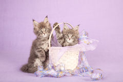 Two Maine Coon kittens. Portrait of two beautiful enchanting Maine Coon kittens with a beige basket and lilac ribbons on a pale purple background Stock Photography