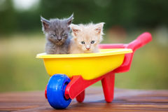 Two maine coon kittens outdoors Royalty Free Stock Photography