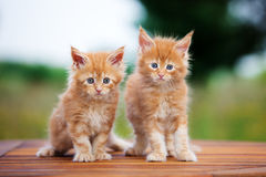 Two maine coon kittens outdoors Stock Image