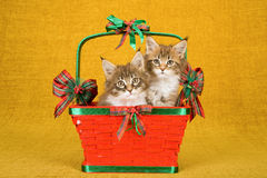 Two Maine Coon kittens sitting inside red Christmas basket on gold background Royalty Free Stock Photo