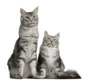 Two Maine coons, 1 year old Stock Images