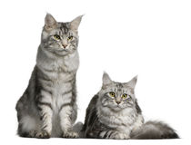 Two Maine coons, 1 year old Stock Photos