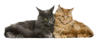 Two Maine coons, 15 months old Stock Image